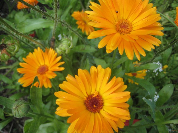 Calendula officinalis Wildform