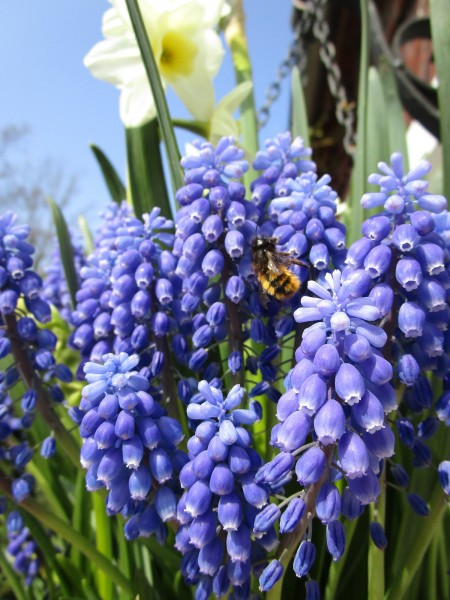 Muscari aucheri Blue Magic