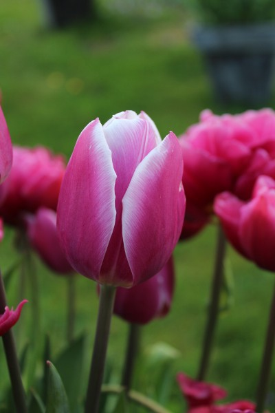Triumph-Tulpen Holland Beauty